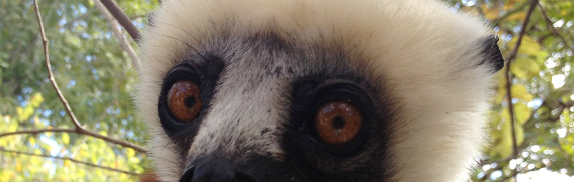 The endangered Coquerel's Sifaka of Madagascar