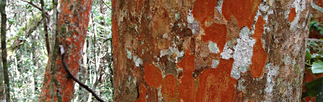Zahamena or Red Tree - a semi precious rainforest timber species from Madagascar