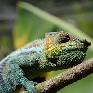 Chameleon:Madagascar 2013:Art With Benefits:Cuschieri Design