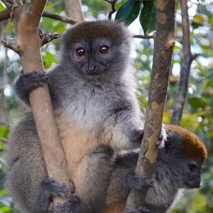 Bamboo Lemur:Madagascar 2013:Cuschieri Design:Art With Benefits